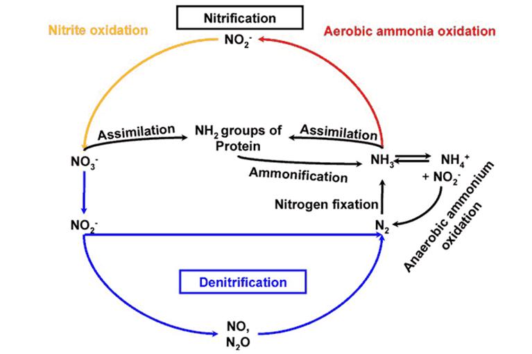 Ammonia degradation
